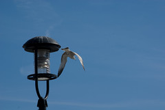 Sea Gull, Boston Harbor