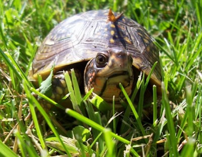 turtle in the yard flickr photo sharing
