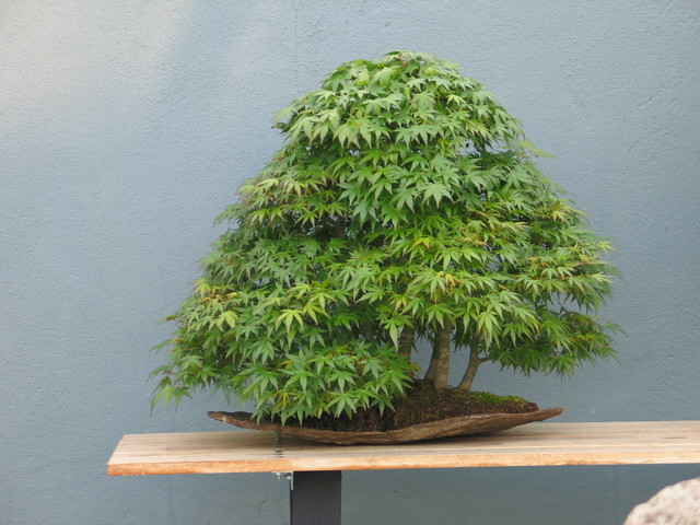 Acer palmatum  Forest in Summer