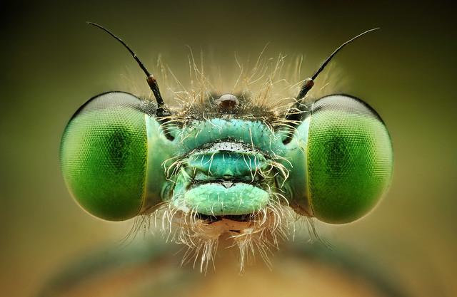 šidielko zelené
