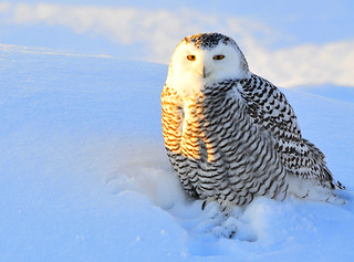 snowy owl photo: North60, via the Flickr Creative Commons license
