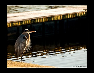 Very Chilly Great Blue Heron
