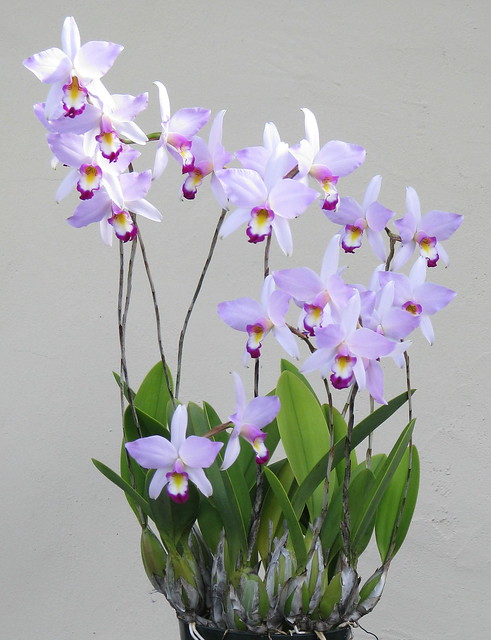 Laelia anceps 'Bright Eyes'