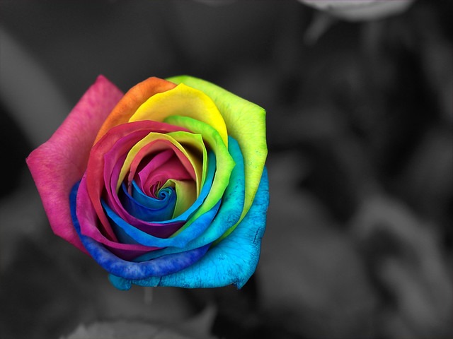 Rainbow rose flickr photo sharing for Where to find rainbow roses