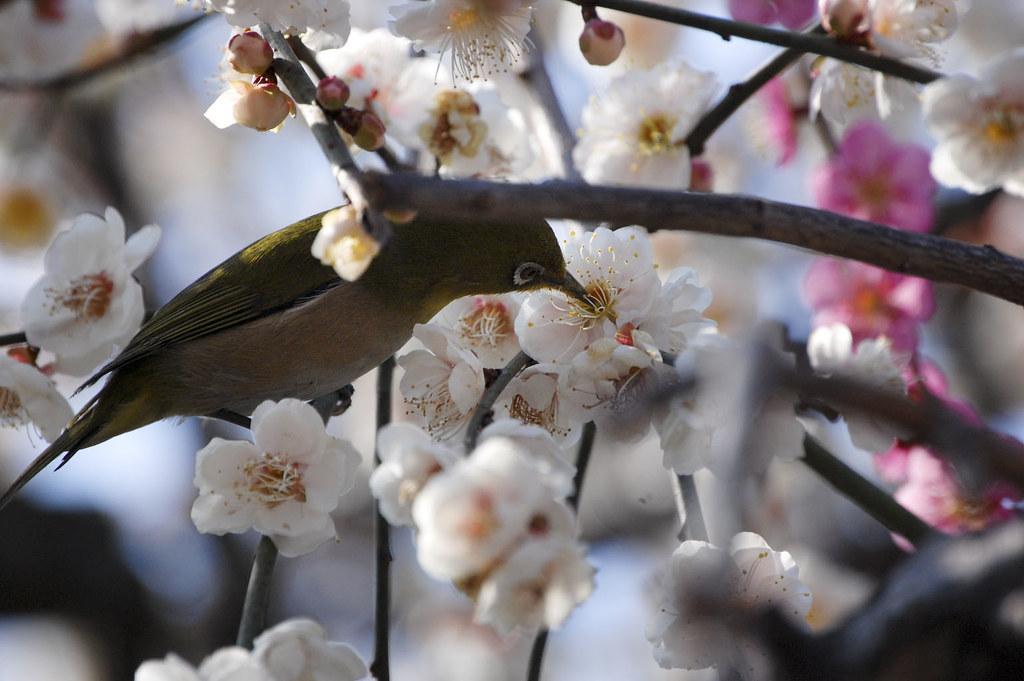 Prunus mume&A white-eye