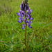 Arroyo Lupine - Photo (c) randomtruth, some rights reserved (CC BY-NC-SA)