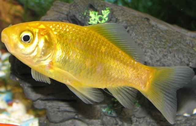 commongoldfish flickr photo sharing