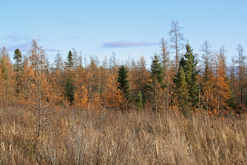 tree fall minnesota scenery fallcolor bog mcgregor