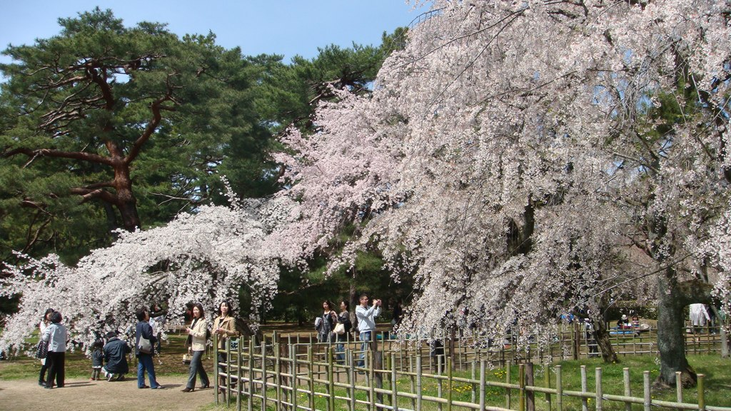 Cherry Tree in Kyoto Imperial Palace