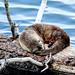 Otter at Trout Lake by YellowstoneNPS