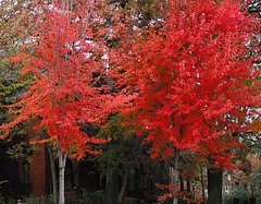 Trees Clothed in Red Leaves