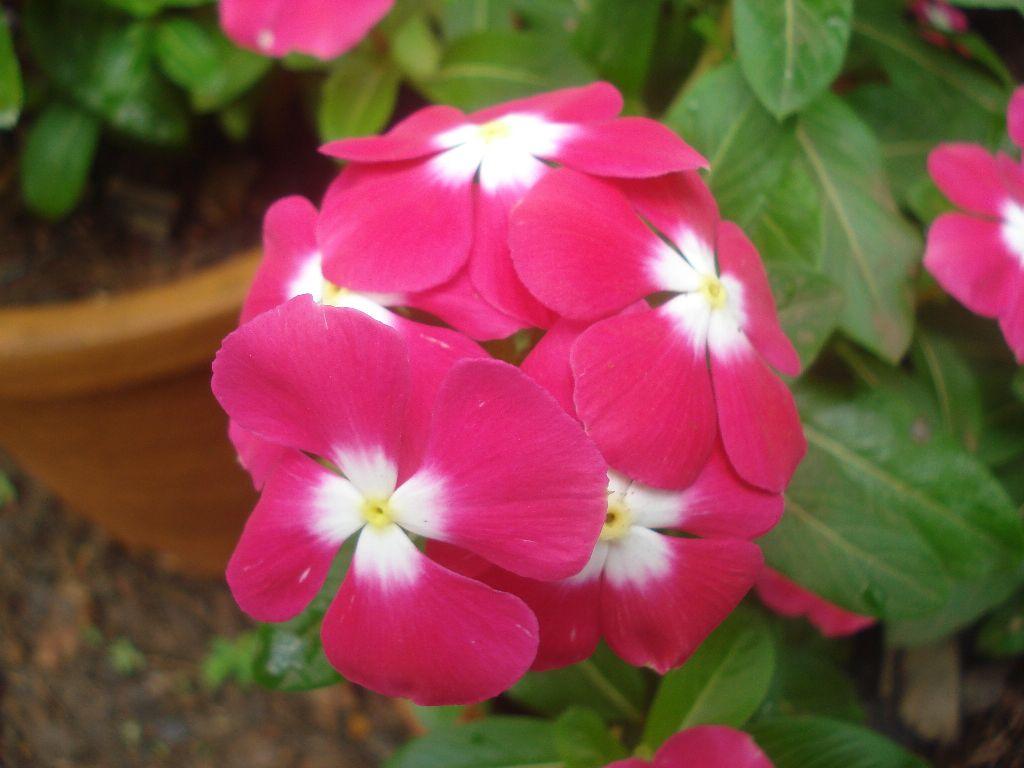 Winca Flower (Vinca Flower)