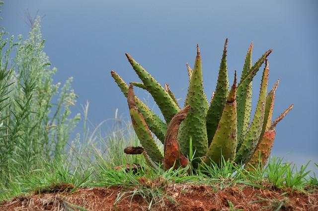 Aloe on sky