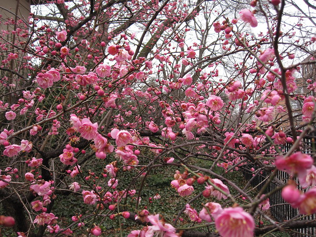 Prunus mume 'Bonita' rosaceae  has an abundance of blooms in mid-March at BBG.