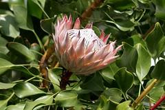 shrub(0.0), blossom(1.0), flower(1.0), leaf(1.0), plant(1.0), flora(1.0), protea(1.0), proteales(1.0),