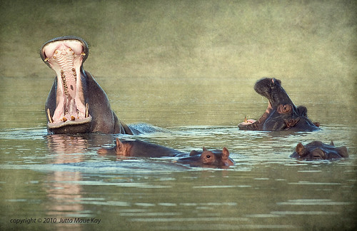 africa texture river yawn botswana chobe hippos 2010 bfgreatesthits mauekay