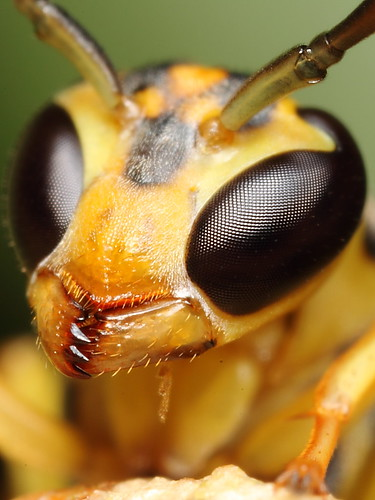 Yellow wasp
