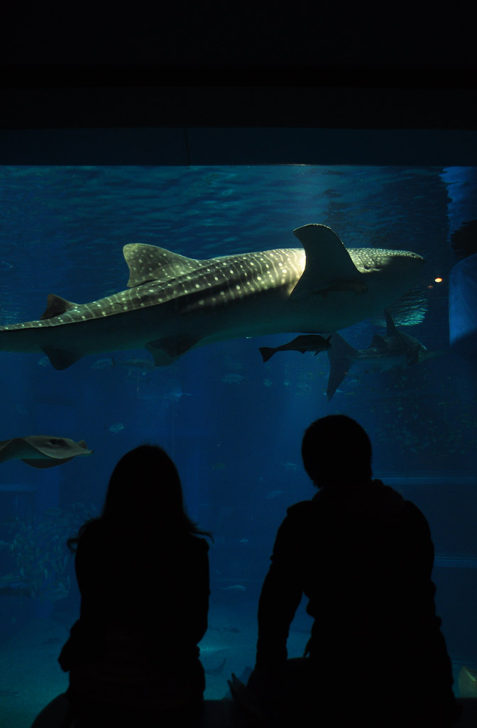 Whale shark in Osaka's aquarium