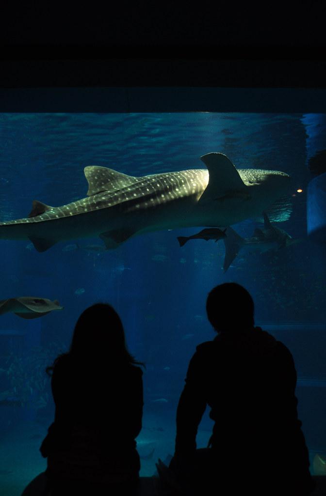 Whale shark in Osaka's aquarium