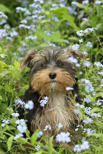 Dog Amid Blue Flowers