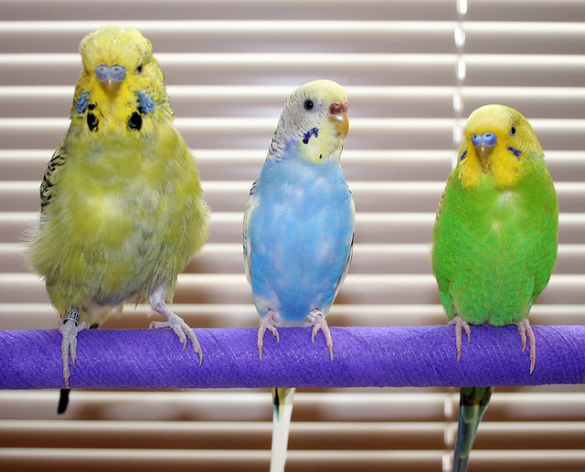 English Budgie vs American Parakeet