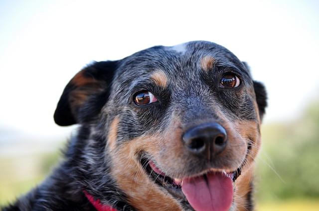 Queensland Blue Heeler Rescue | Dog Breeds Picture