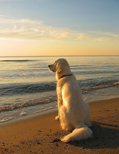 sea dog beach goldenretriever denmark sand retriever whitegoldenretriever englishgoldenretriever 100commentgroup saariysqualitypictures