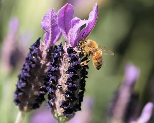 © lavender raleigh pollen honeybee raleighnc frenchlavender pollinator jcraulstonarboretum thankseveryone garyburke sigma105mmf28exdg olympuse620 purplishflowerthingies noclueastowhattheyarebutthebeeslovethem fromthecommentslookslikethisislavender