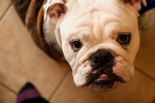 15ourfavoritebulldog.jpg