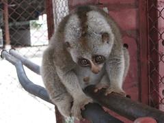 animal, loris, marsupial, mammal, fauna, lemur,