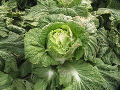 brassica(0.0), mustard plant(0.0), plant(0.0), rapini(0.0), collard greens(0.0), annual plant(1.0), savoy cabbage(1.0), cabbage(1.0), vegetable(1.0), flower(1.0), leaf(1.0), leaf vegetable(1.0), herb(1.0), green(1.0), produce(1.0), food(1.0),