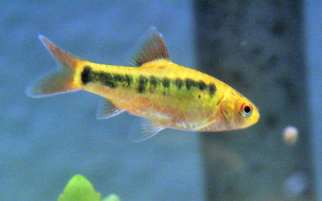 Gold barb flickr photo sharing for Gold barb fish