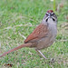 Rusty Sparrow - Photo (c) Jerry Oldenettel, some rights reserved (CC BY-NC-SA)