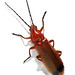 Common Red Soldier Beetle - Photo (c) IES MANUEL GARCÍA BARROS A ESTRADA- PONTEVEDRA, some rights reserved (CC BY-SA)