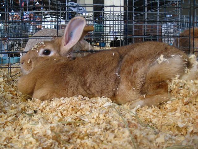 palomino rabbits - photo #12