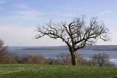Mount Vernon Tree