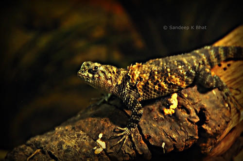 santabarbara zoo nikon dragon lizard scales granite spiny keels d90 granitespinylizard sceloporusorcutti sorcitti