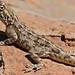 Small photo of Ground Agama (Agama aculeata)