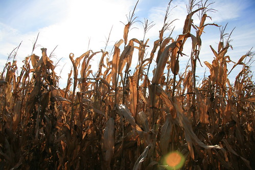 corn maze lehner'spumpkinfarm