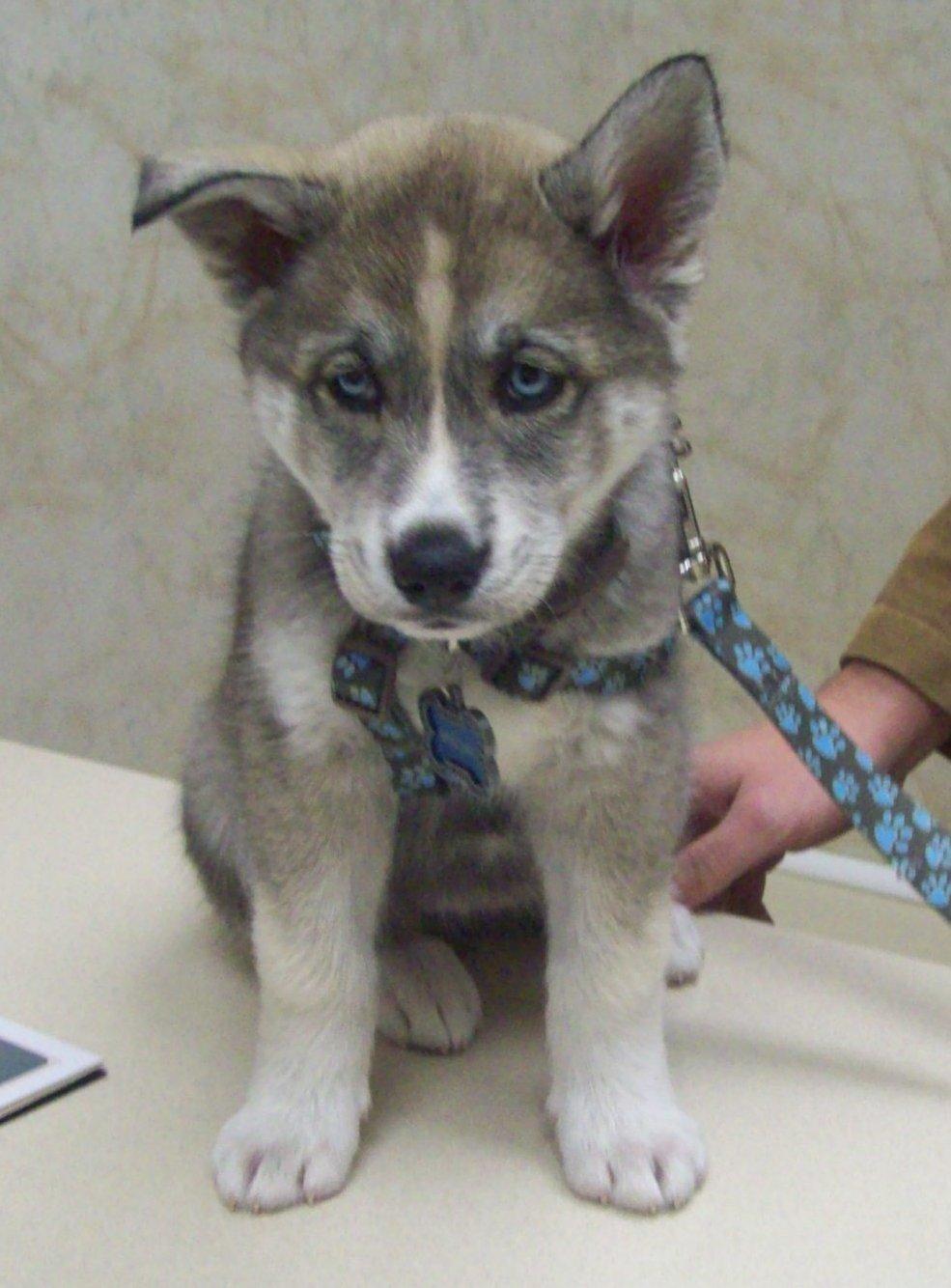 Wolf husky mix puppies - photo#23