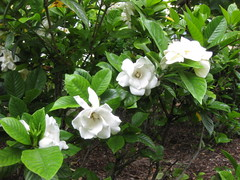 shrub, flower, plant, wildflower, flora, gardenia,
