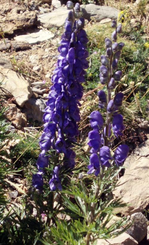 Aconitum napellus 4162636704_0378831dfd_o