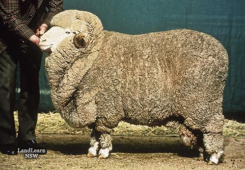 Sheep breeds, strong wool Merino ram | Sheep breeds ...