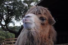horse(0.0), arabian camel(0.0), animal(1.0), mane(1.0), zoo(1.0), mammal(1.0), head(1.0), fauna(1.0), close-up(1.0), camel(1.0),