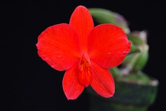 Sophronitis coccinea 'Johnny B'