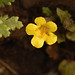 Many-flowered monkeyflower - Photo (c) birdgal5, some rights reserved (CC BY-NC-ND)