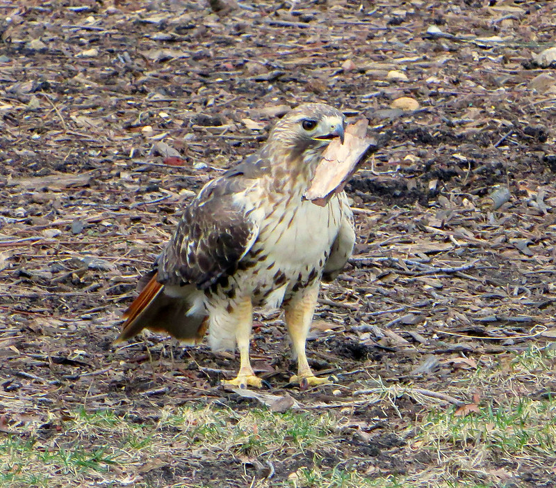 Red tail collecting bark in Tompkins Square