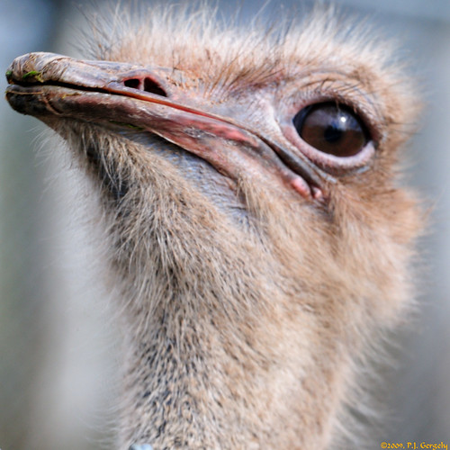 canada birds geotagged ostrich newbrunswick moncton cropped magnetichillzoo grouptags avianexcellence allrightsreserved©drgnmastrpjg diamondclassphotographer flickrdiamond eiap rawjpg birdperfect geo:lat=46139185 geo:lon=64882293 ©pjgergelyallrightsreserved