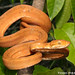 Garden Tree Boa - Photo (c) Todd Pierson, some rights reserved (CC BY-NC-SA)