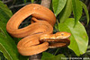 "<a href=""http://www.flickr.com/photos/twpierson/4226944412/"">Photo of Corallus hortulanus by Todd Pierson</a>"